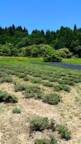 20170708ラベンダーの畑