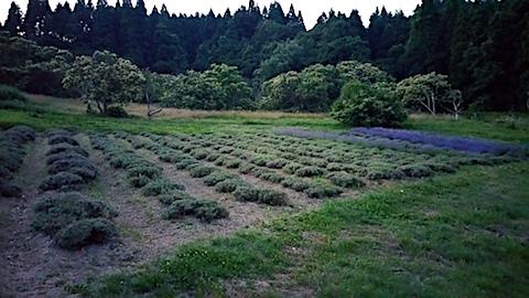 20170708ラベンダー畑の様子収穫後
