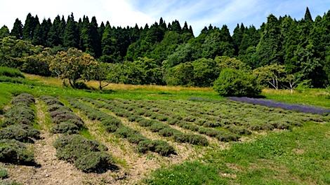 20170711ラベンダー収穫前の様子1