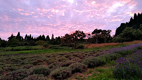 20170711ラベンダー畑より夕焼け空を望む