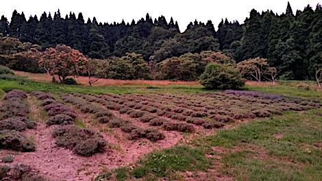 20170711ラベンダー収穫後の様子1