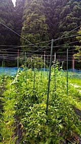 20170712野菜畑に糸を張る