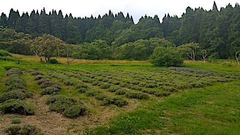 20170712ラベンダー収穫前の様子1