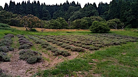 20170712ラベンダー収穫後の様子1