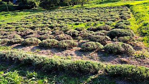 20170714刈り込み後のラベンダー畑1