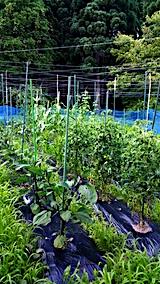 20170714野菜の畑