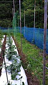 20170714野菜畑キュウリの支柱立てとネット張り