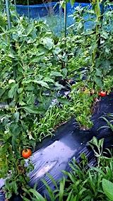 20170714野菜畑キュウリとトマトの収穫