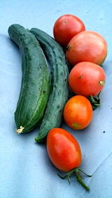 20170714キュウリとトマトの収穫