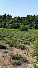 20170715ラベンダーの畑