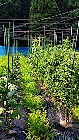 20170715草取り前の野菜畑2