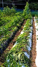 20170715草取り途中の野菜畑