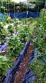 20170715草取り後の野菜畑1