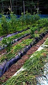 20170715草取り後の野菜畑2