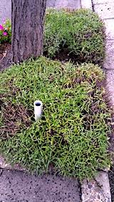 20170717刈り込んだ歩道の早咲きラベンダーこいむらさき