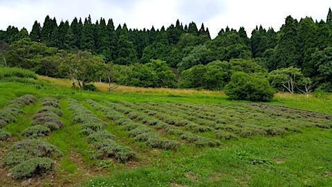 20170717ラベンダー畑の様子