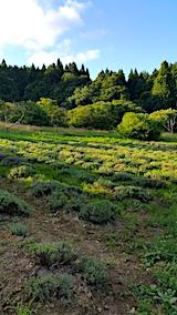 20170718ラベンダーの畑