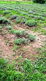 20170725少し土が流れ出たラベンダー畑の様子1