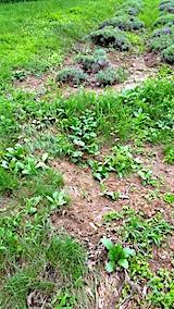 20170725少し土が流れ出たラベンダー畑の様子2