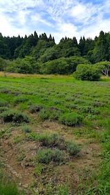 20170726草刈り前のラベンダー畑の様子1