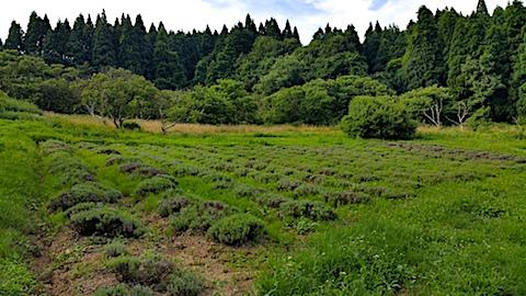 20170726草刈り前のラベンダー畑の様子3
