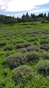 20170726草刈り前のラベンダー畑の様子2