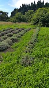 20170726草刈り前のラベンダー畑の様子6