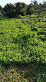 20170726草刈り前のラベンダー畑の様子7