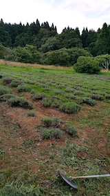 20170726草刈り後のラベンダー畑の様子1