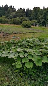 20170726草刈り後のラベンダー畑とカボチャ畑