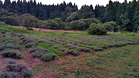 20170726草刈り後のラベンダー畑の様子3