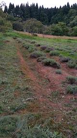 20170726草刈り後のラベンダー畑の様子5