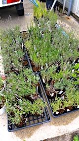 20170727鉢植えラベンダーの刈り込み前1