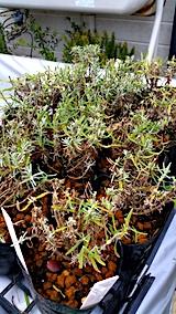 20170727鉢植えラベンダーの刈り込み後3