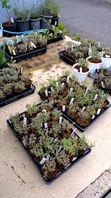 20170727鉢植えラベンダーの刈り込み後1