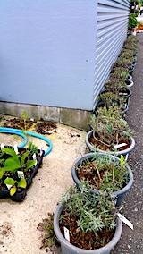 20170727鉢植えラベンダーの刈り込み後2