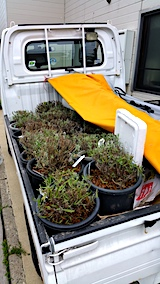20170727刈り込んだ鉢植えラベンダーの移動前
