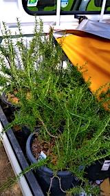 20170727鉢植えローズマリーの移動
