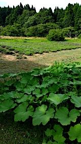 20170727ラベンダー畑とカボチャ畑の様子