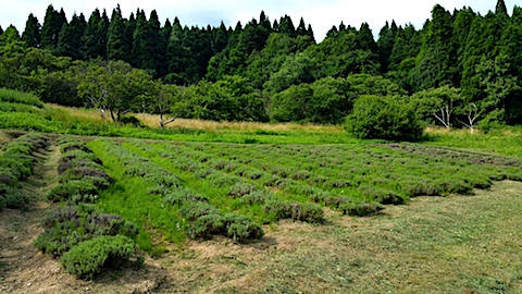 20170727草刈り前のラベンダー畑の様子1