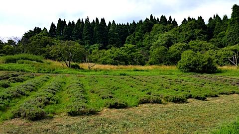 20170727草刈り前のラベンダー畑の様子2