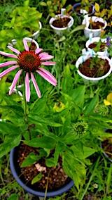 20170728エキナセアの花