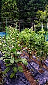 20170728野菜の畑