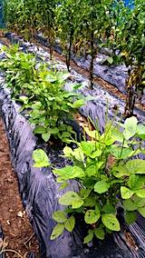 20170728野菜畑が3