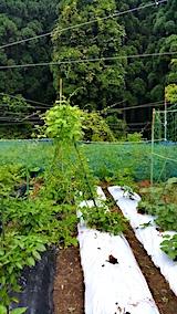 20170728野菜畑のネット張り替える1