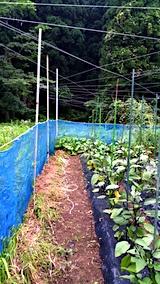 20170728野菜畑のネット張り替える2