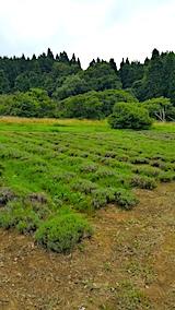 20170728草刈り前のラベンダー畑の様子