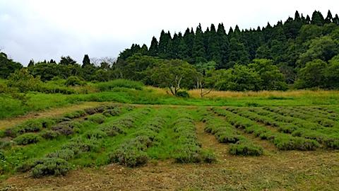20170728草刈り後のラベンダー畑の様子1