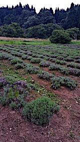 20170728草刈り後のラベンダー畑の様子