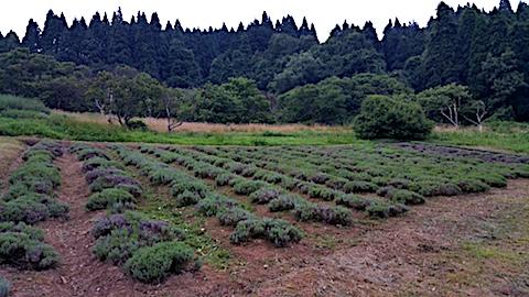 20170728草刈り後のラベンダー畑の様子3